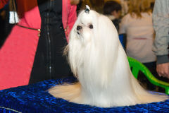 Cute Maltese. Royalty Free Stock Photos