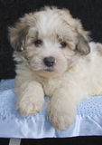 Cute Malti-Poo Puppy Royalty Free Stock Photo