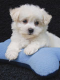 Cute Malti-Poo Puppy Royalty Free Stock Photos