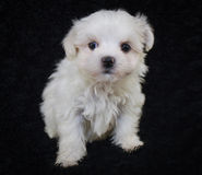 Cute Malti-Poo Puppy. Tiny Malti-Poo puppy sitting on a black background Stock Photo