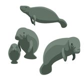 Cute Manatee Poses Cartoon Vector Illustration Royalty Free Stock Image