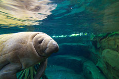 Cute Manatee Royalty Free Stock Images