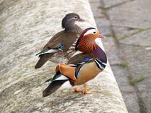 Cute mandarin ducks couple royalty free stock photography