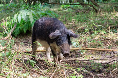 Cute Mangalica in the forest. Beautiful hairy Swallow-bellied Mangalica pig Sus Scrofa, a Hungarian breed of domestic pig with a thick and woolly coat, in the Royalty Free Stock Images