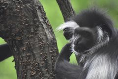 Mantled Colobus Monkey Climbing Up a Tree Trunk Royalty Free Stock Images