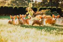 Many cute puppys Welsh corgi dog at walk on road on grass in sunshine. green park on background royalty free stock photos