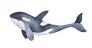 Cute marine orca kid character portrait. Smiling spotted snout and long playful tail. Hand painted watercolor and ink graphic drawing on white background vector illustration