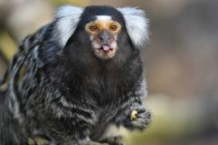 Cute marmoset poking out its tongue. An adorable marmoset monkey Callithrix jacchus out its tongue in a cheeky pose stock photo