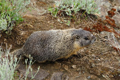 Cute marmot Royalty Free Stock Image