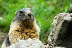 Cute marmot. Closeup portrait of a cute marmot Royalty Free Stock Photos