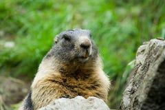 Cute marmot. Closeup portrait of a cute marmot Royalty Free Stock Images
