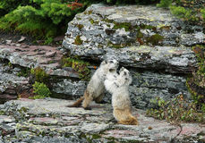 Cute marmot in Glacier national park Royalty Free Stock Photo