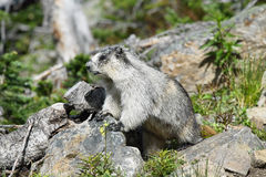 Cute marmot in Glacier national park Stock Image