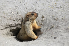 Cute marmot peeking out of a burrow Royalty Free Stock Photography