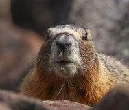 A cute marmot poking its head out from a burrow behind rocks royalty free stock photo