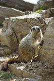 Cute marmot Royalty Free Stock Photos