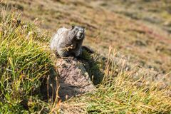 Cute marmot sitting on rock outside his den. Looking at the camera Royalty Free Stock Photography