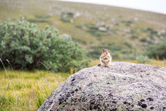 Cute Marmot Standing on Rock in Mountain and Fields Royalty Free Stock Photography