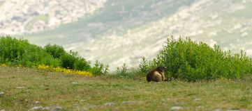 Cute marmot Stock Images