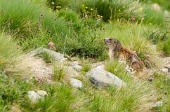 Cute marmot Stock Photography