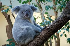 Cute marsupial bear of a koala sitting on a tree Royalty Free Stock Photography