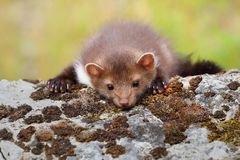 Cute marten lying Royalty Free Stock Images