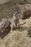Cute meercat sitting down Royalty Free Stock Photo