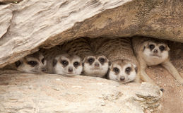 Cute meerka Stock Photography
