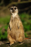 Cute meerkat Royalty Free Stock Image