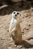 Cute meerkat Stock Photos