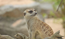 Cute meerkat Stock Images
