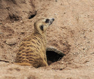 Cute meerkat Stock Image