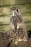 Cute meerkat Royalty Free Stock Images