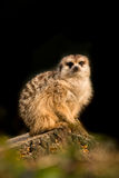 Cute meerkat animal resting on a tree branch Royalty Free Stock Photography