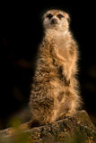 Cute meerkat animal sitting upright on the watch. On a black background Royalty Free Stock Image