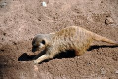 Cute meerkat digging around in the sand in the sunshine stock image