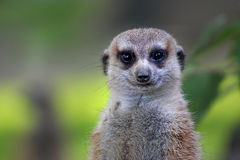 Cute meerkat Royalty Free Stock Photo