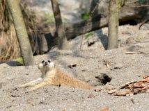 Cute Meerkat Royalty Free Stock Image