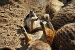 Cute meerkat sunbathing on its back enjoying the summer royalty free stock photos