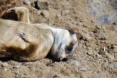 Cute meerkat lying on the sand stock photo