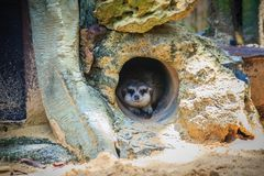 Cute Meerkat is moving out from his hole. The meerkat or suricat Royalty Free Stock Photos