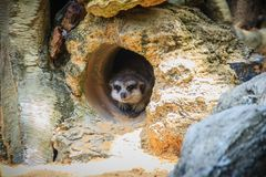 Cute Meerkat is moving out from his hole. The meerkat or suricat Stock Photos