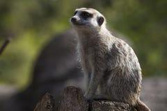 Cute meerkat. Side portrait of cute meerkat with green nature background Stock Photo
