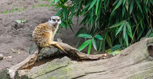 A cute meerkat sitting on a branch also know as a suricate a animal from the african desert stock photo