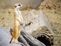 Cute meerkat that small animal its standing to alert look in forward on a small timber that put on brown sand or soil ground with. Blur nature background royalty free stock images