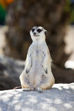 Cute meerkat standing guard on top of a rock Royalty Free Stock Photography