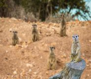 Cute meerkat standing on a tree trunk with a family of meerkats in the background. A cute meerkat standing on a tree trunk with a family of meerkats in the stock photo