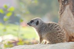 Cute meerkat in the sun Stock Photos