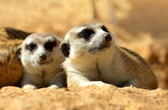 Cute Meerkat  Suricata suricatta. Liyng on the sand. Funny African animals Stock Images