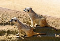 Cute Meerkat  Suricata suricatta  in the sand. Stock Photos